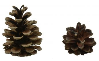 Pine cones for decorations